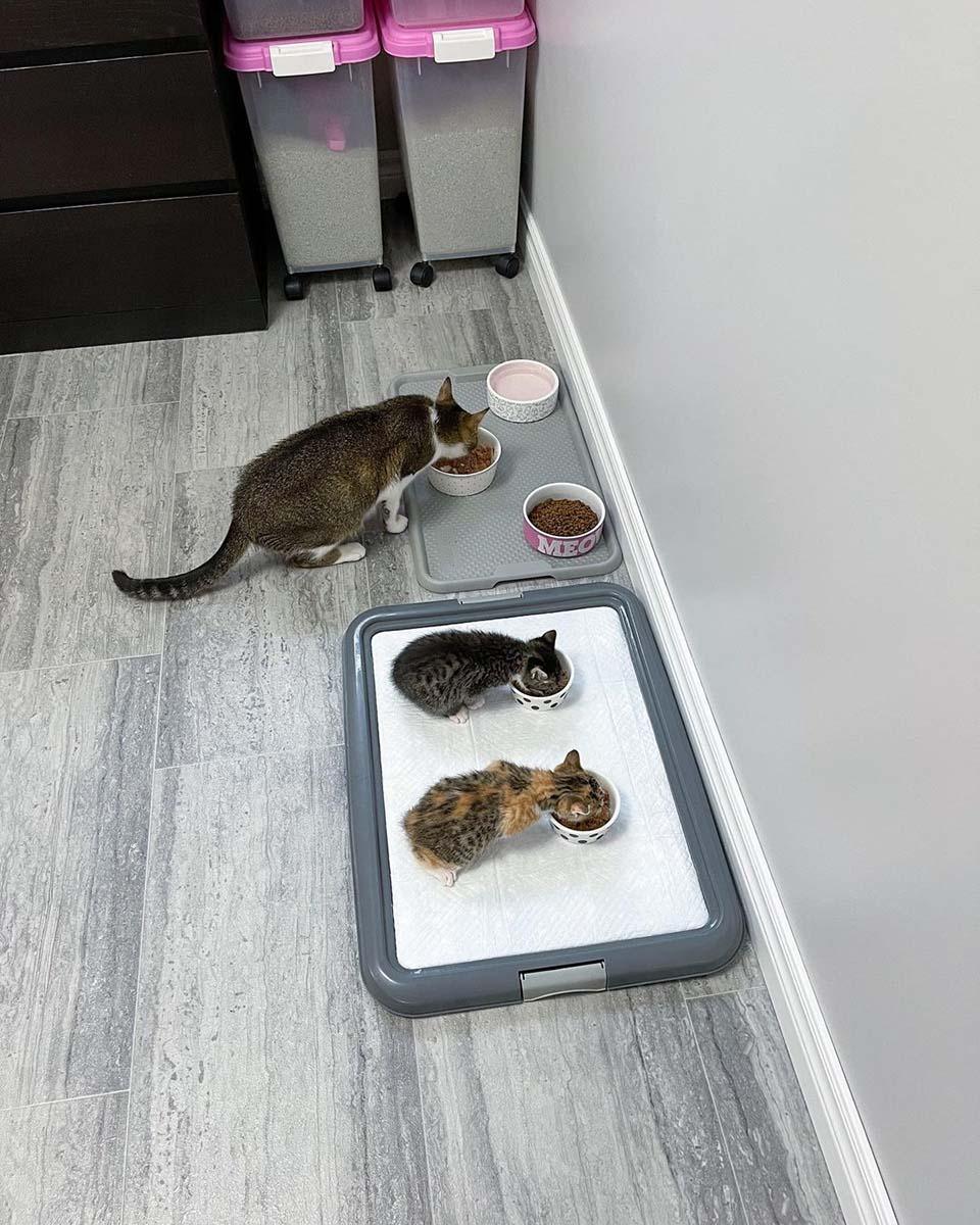 Gatitos comiendo en sus tazones