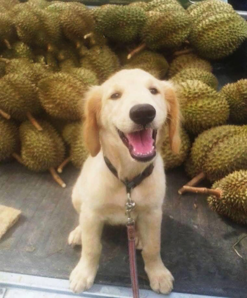 Golden retriever ha posado adorablemente para las fotos