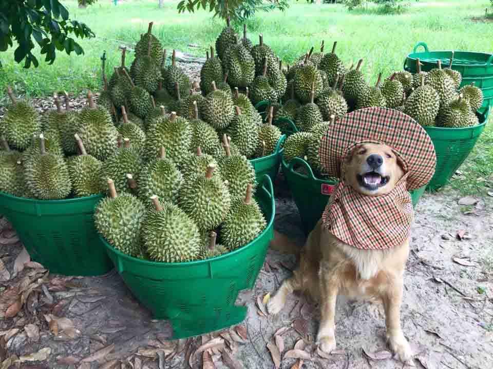 Golden retriever en fotos de la cosecha familiar