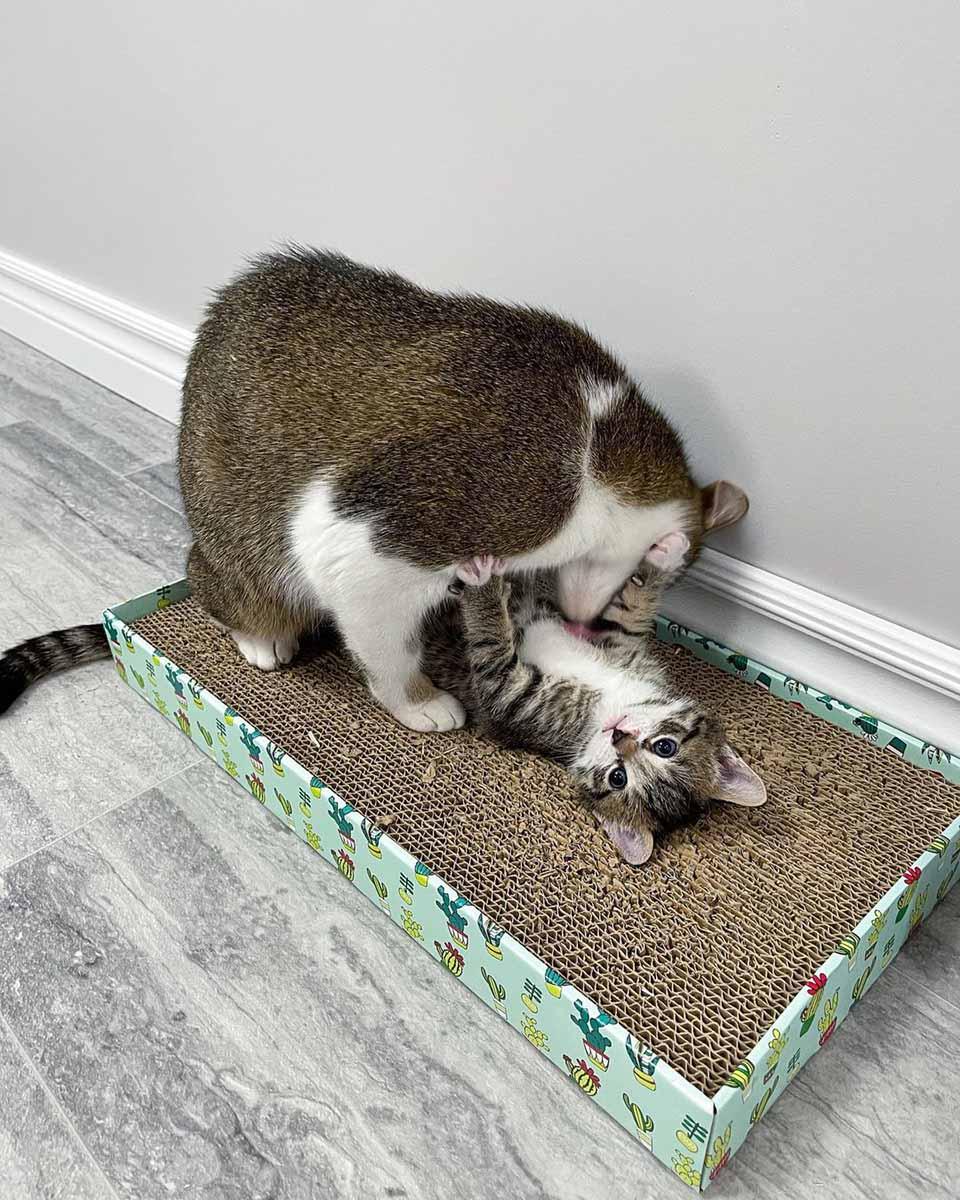 Mamá gata baña a su bebé
