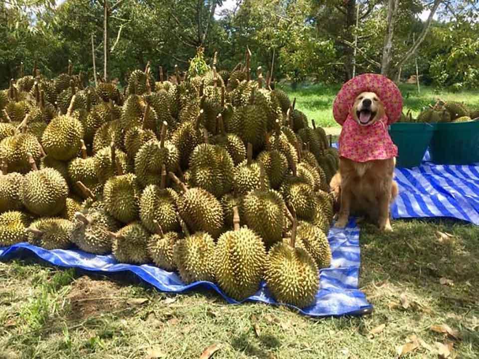 Perrito posa junto a la cosecha de durián