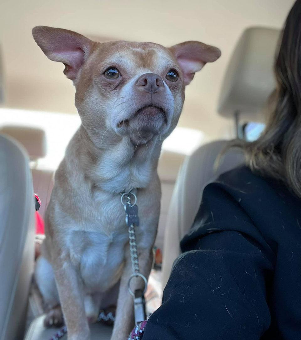 Prancer Chihuahua odia todo