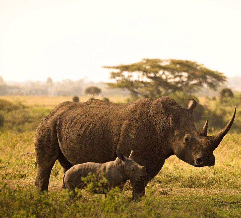 Rinocerontes manada
