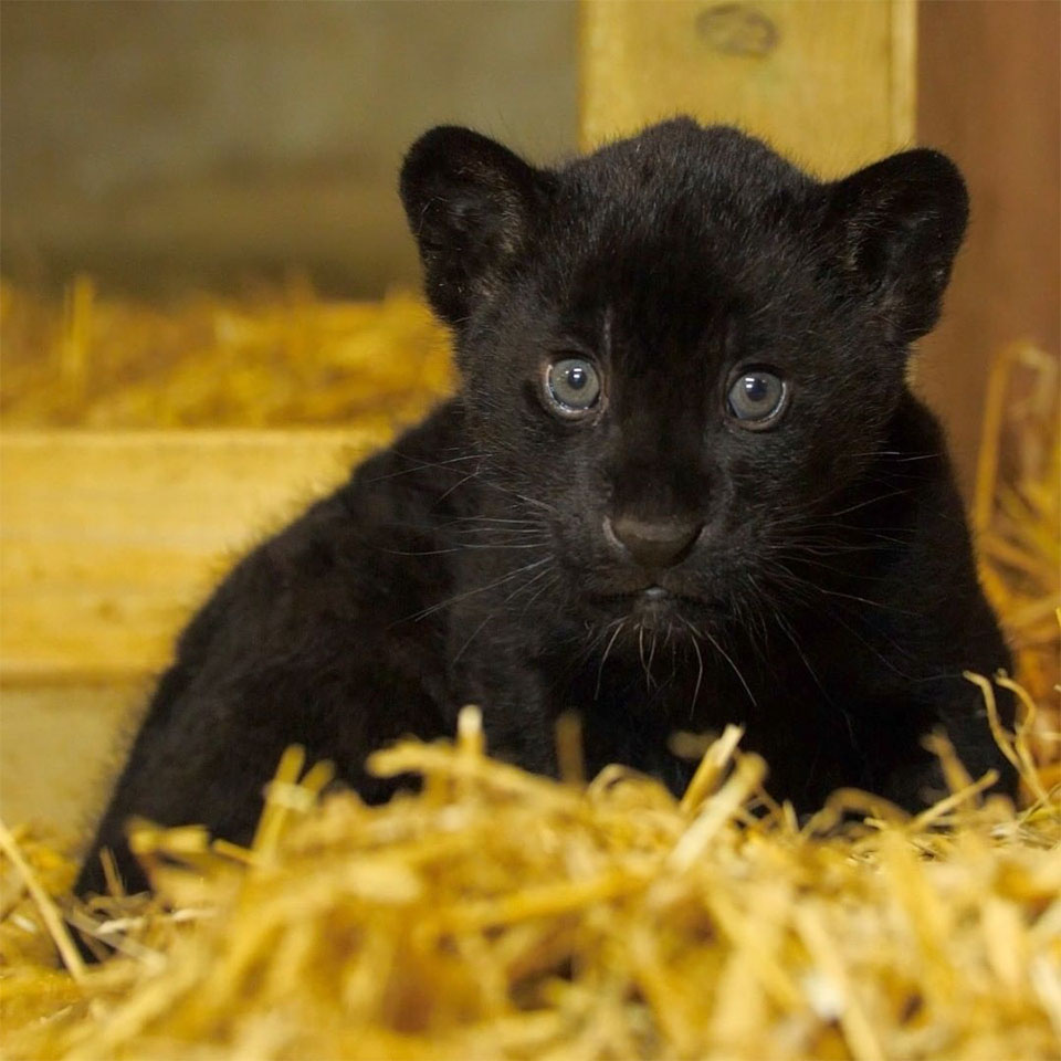 Adorable bebé jaguar