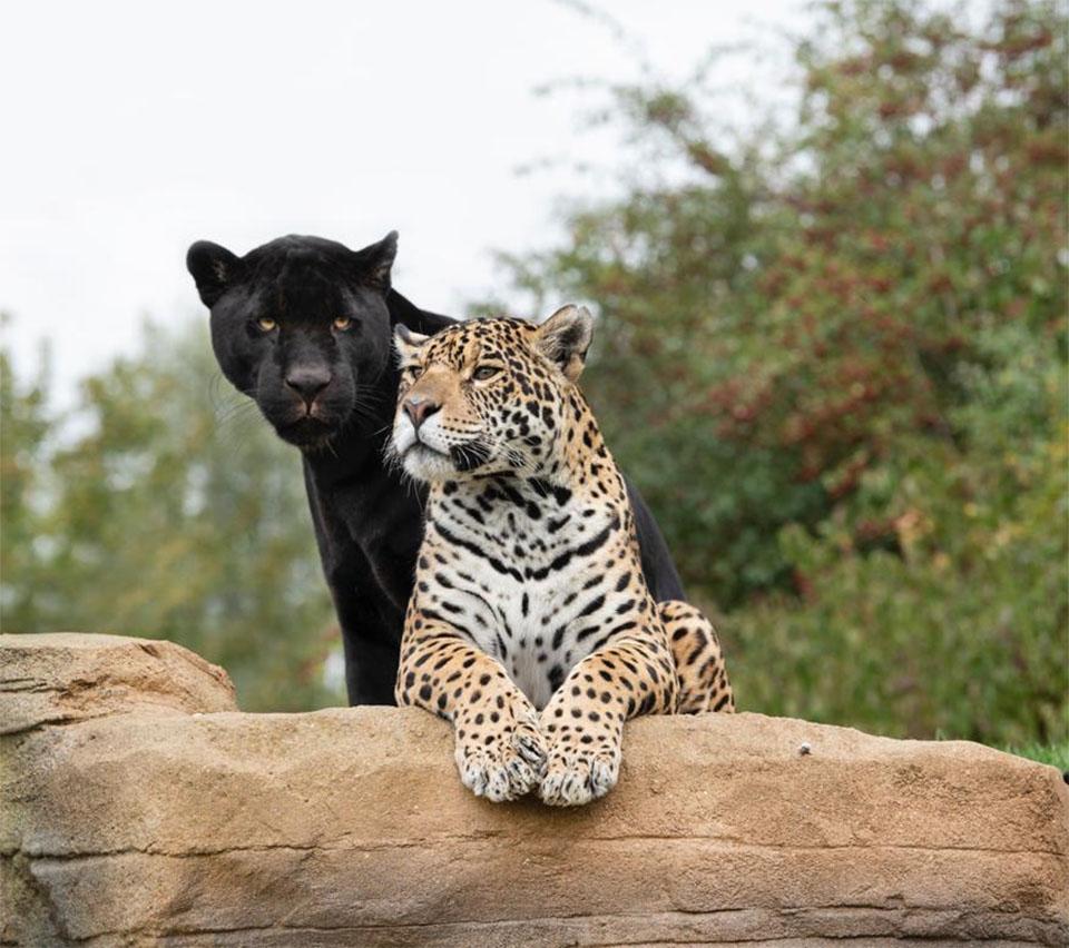 Adorable pareja jaguar
