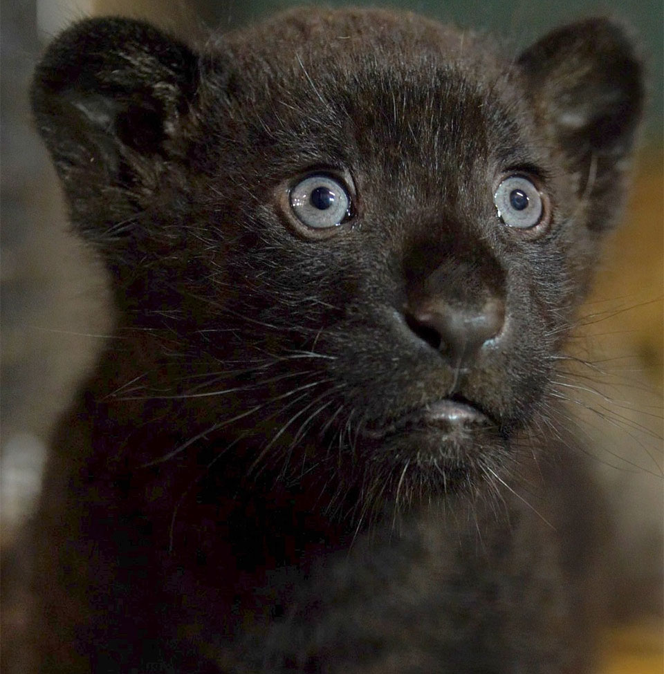 Cachorra de jaguar