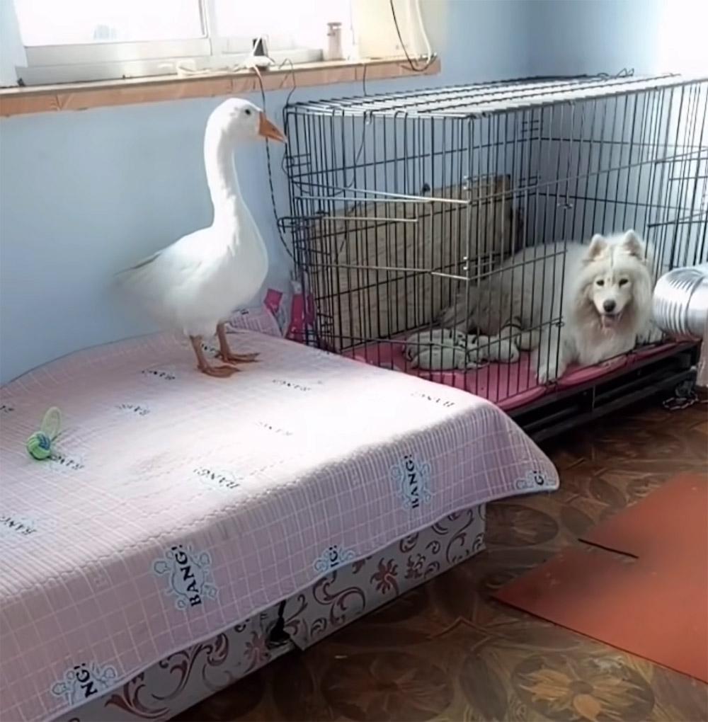 Perrita recibe ayuda con sus bebés de una gansa