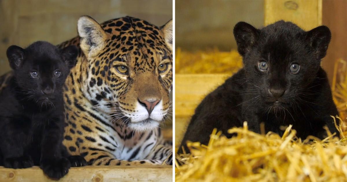 Rara cría jaguar nace santuario grandes felinos