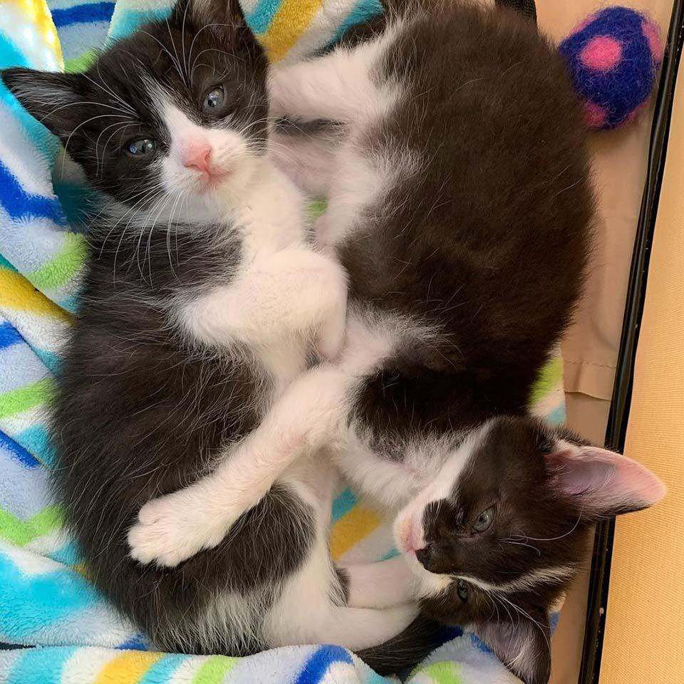 Adorables gatitos de esmoquin