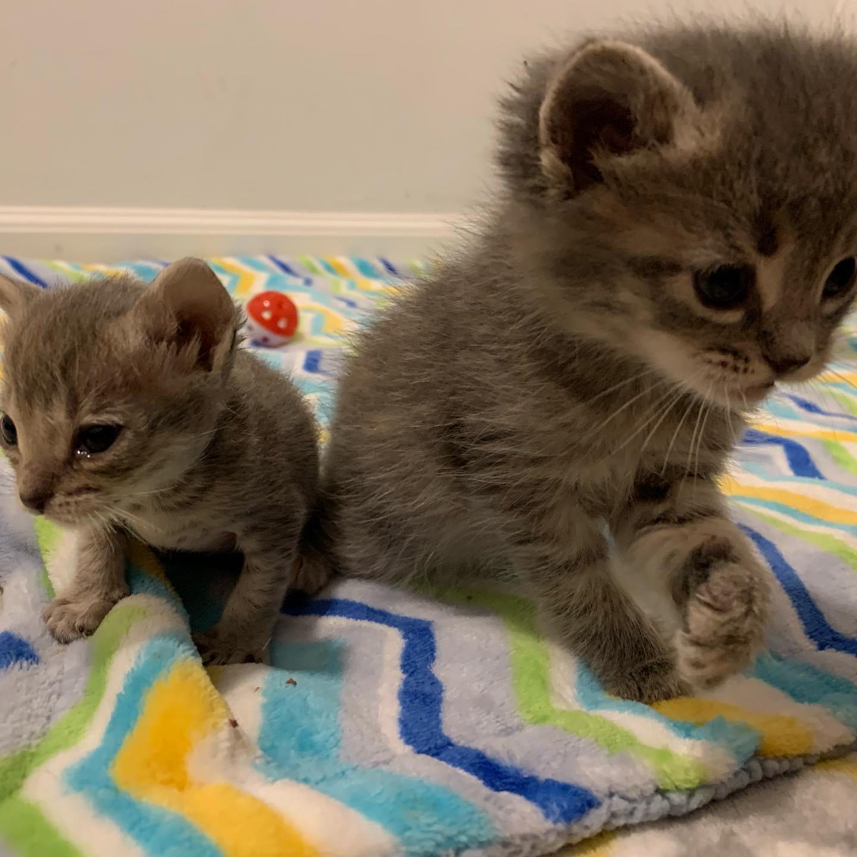 Dos gatitos rescatados