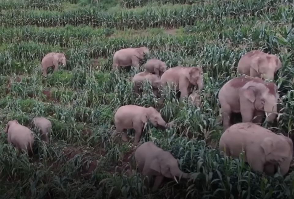 Elefante causando daños