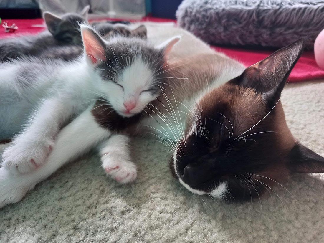 Gatito estaba solo hasta que un gato lo aceptó y lo hace parte de la familia