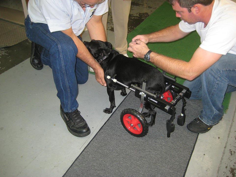 Perrito ensayando silla de ruedas