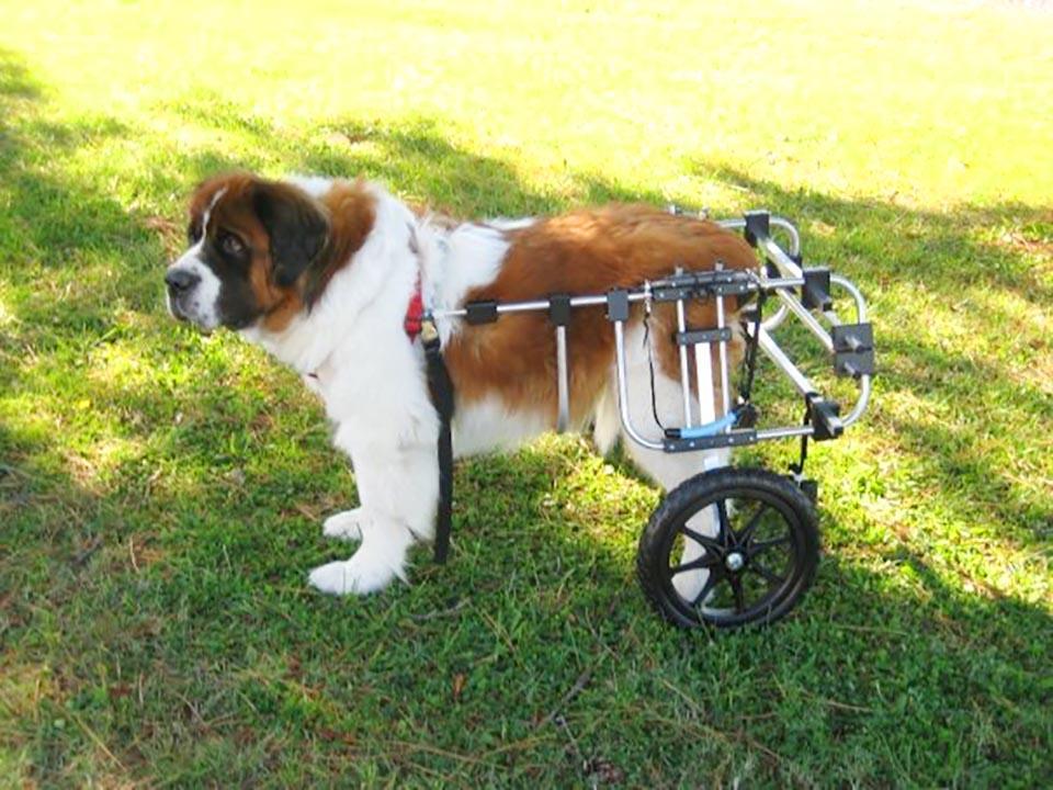 Perrito y su silla de ruedas