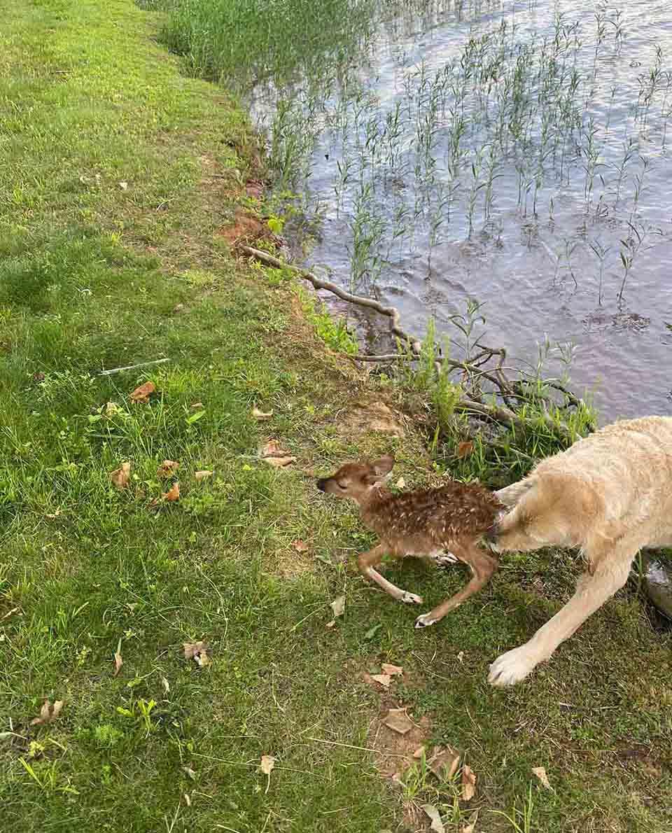 Hombre pierde a su perro y lo encuentra rescatando a pequeño ciervo
