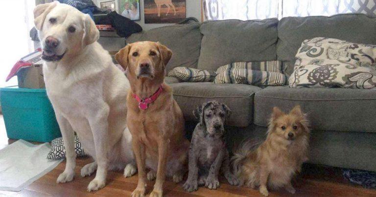Cachorro gran danés supera de manera graciosa a todos sus hermanos en un año