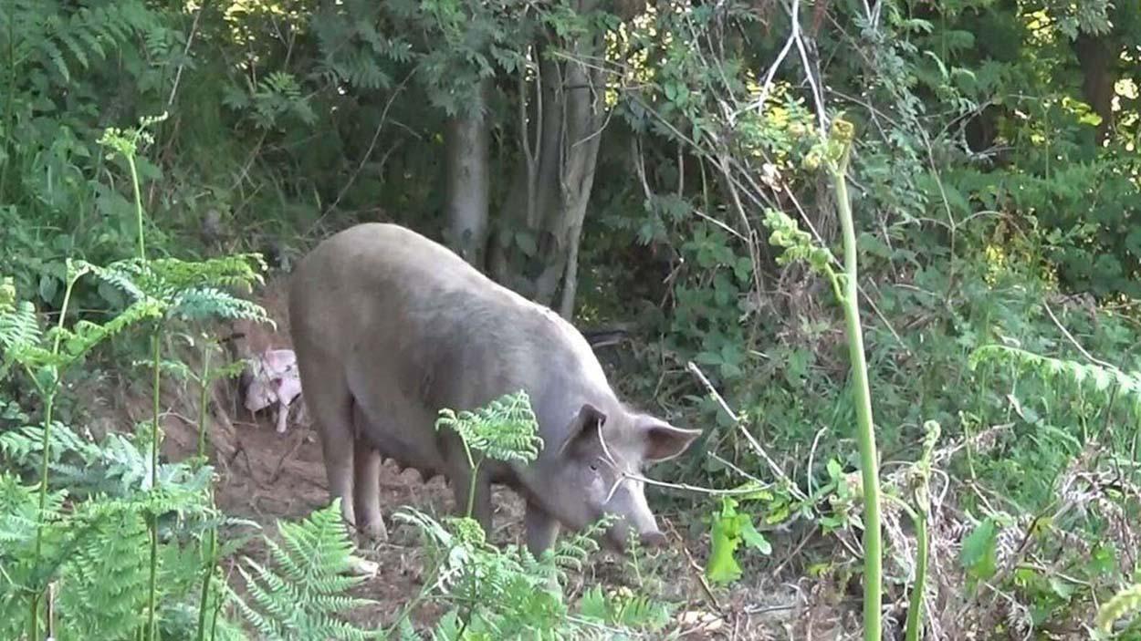 Cerdita encontrada en el bosque y sus bebés
