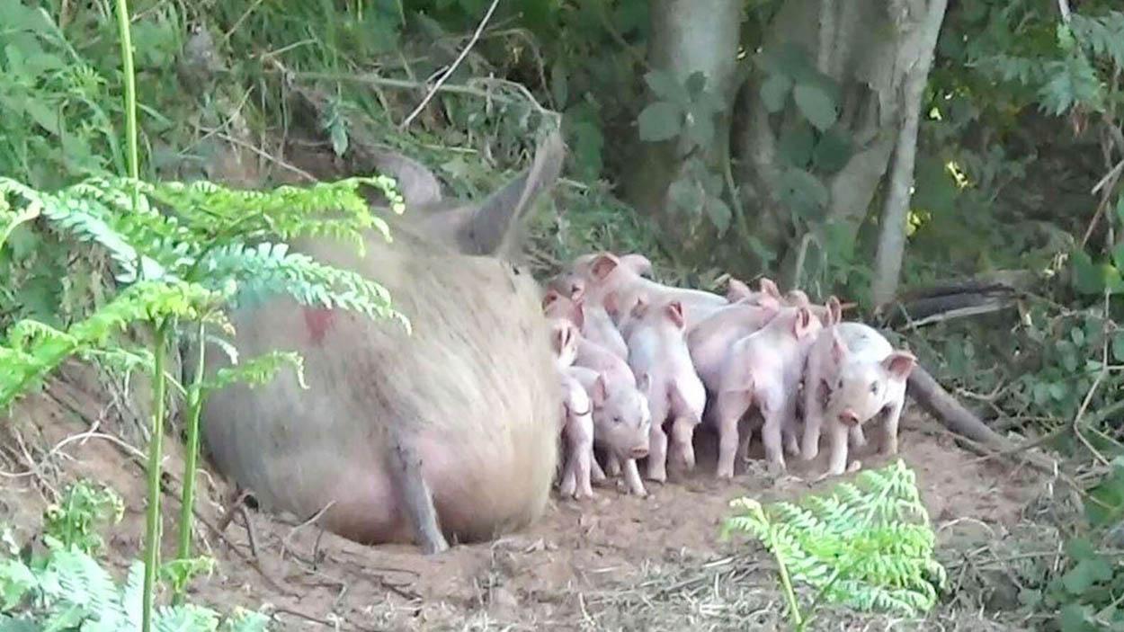 Cerdita y sus crías
