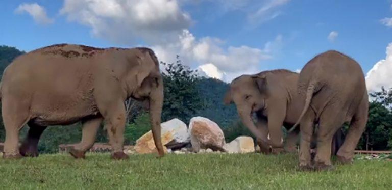 Elefante ciego recibe ayuda de un amigo que lo guía hacia la comida