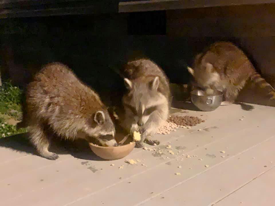 Mapaches salvajes comiendo