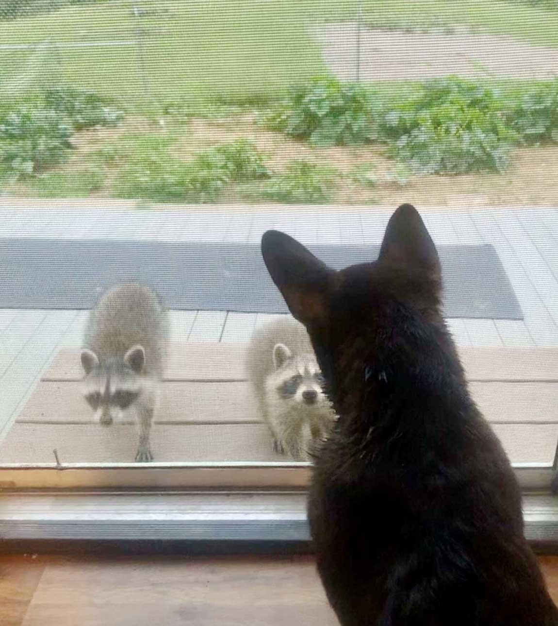 Mapaches salvajes visitan a perro para jugar