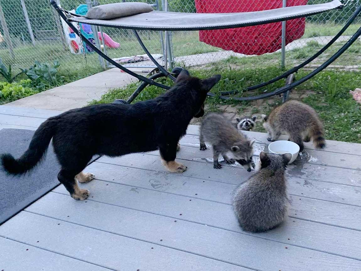 Mapaches salvajes visitan a su amigo perro