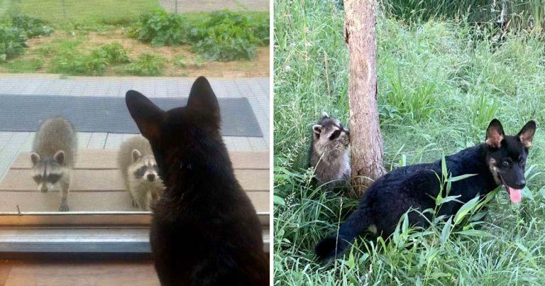 Mapaches salvajes visitan a su amigo perro para jugar al escondite