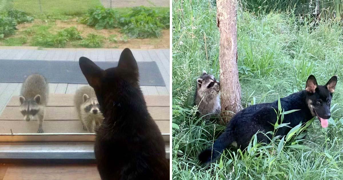 Mapaches salvajes visitan amigo perro jugar escondite