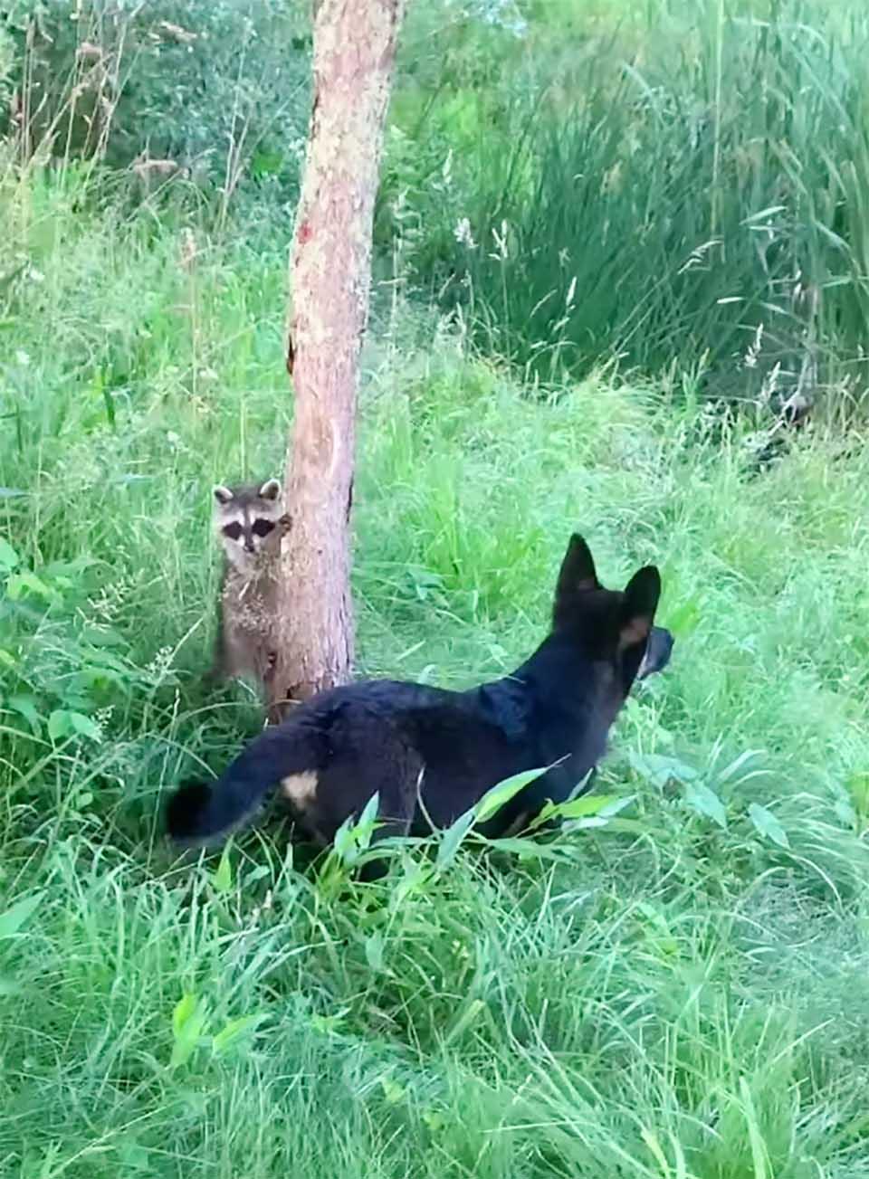 Mapaches salvajes y su amigo perro