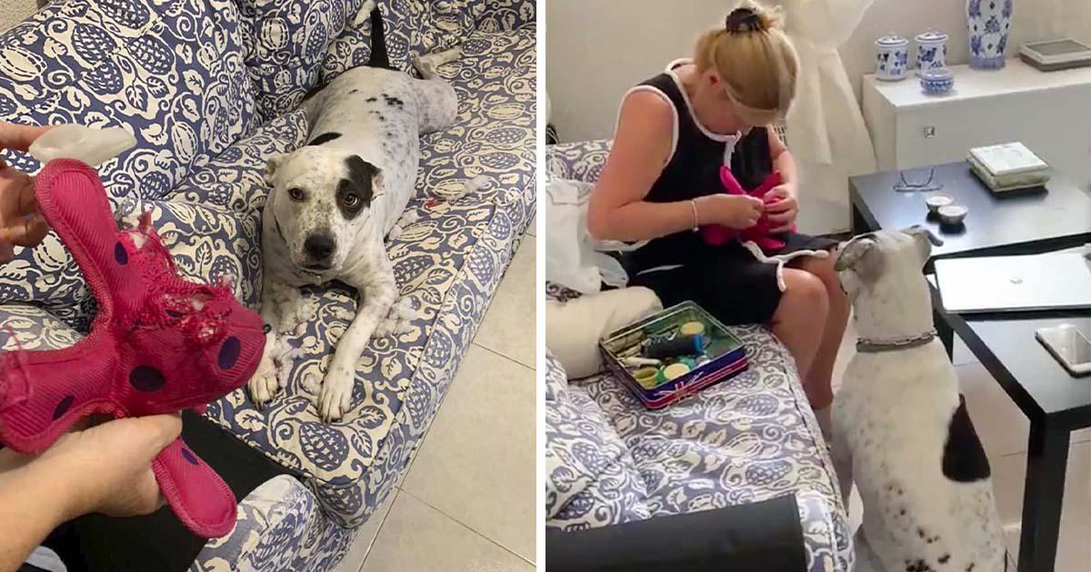 Perro se niega a separarse del juguete mientras mamá realiza una 'cirugía' de emergencia