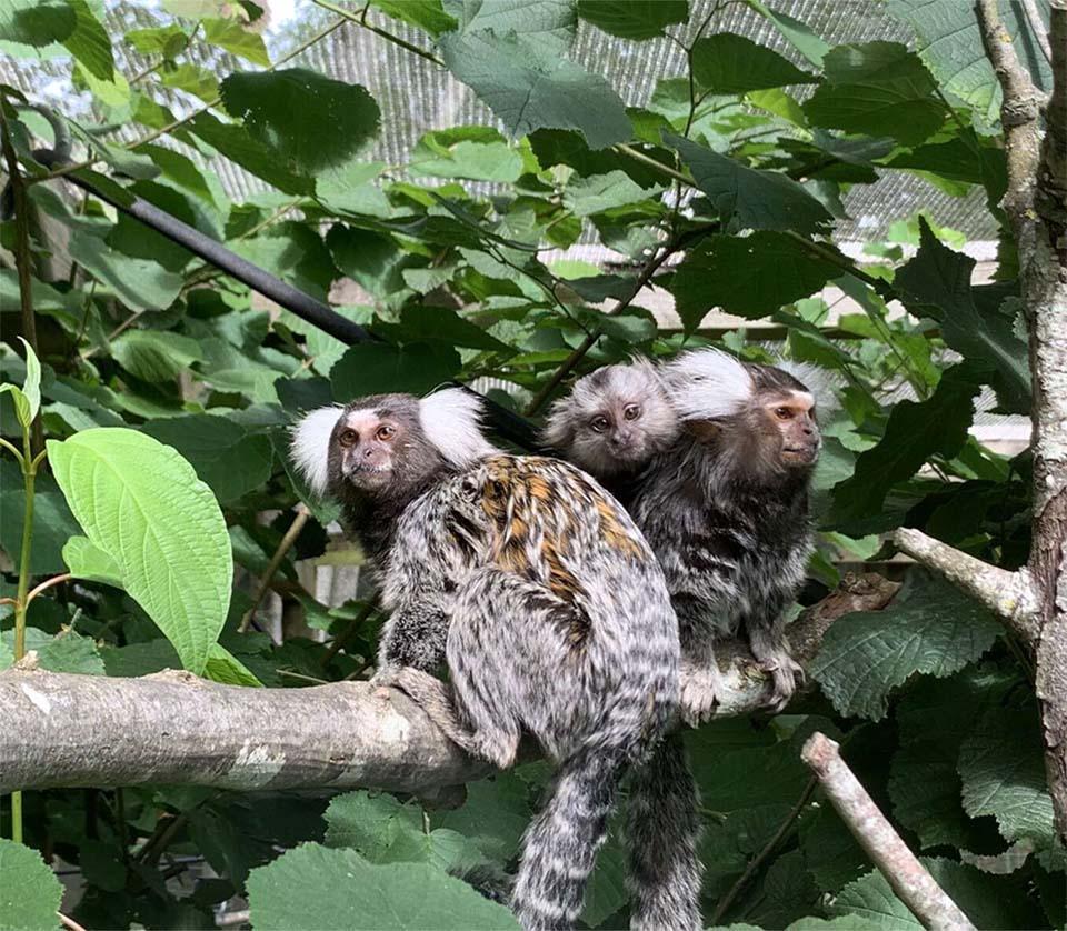 Bebé mono rescatado familia