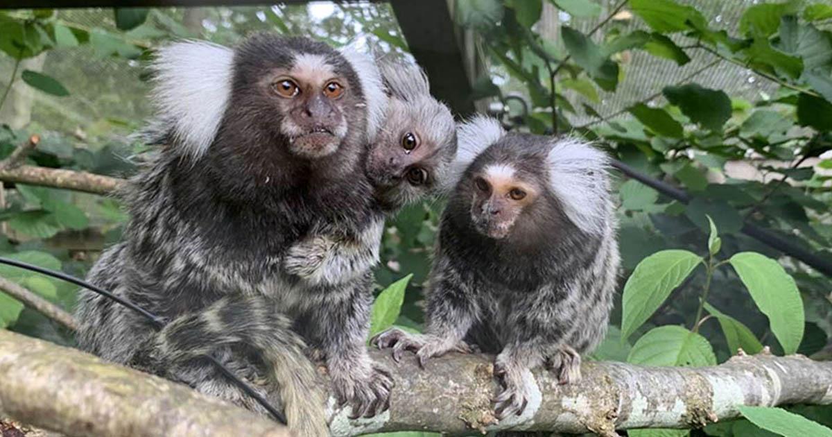 Bebé mono rescatado feliz conocer nueva familia