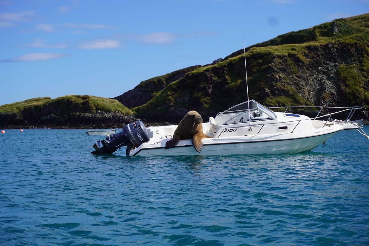 Enorme morsa en el bote de un extraño