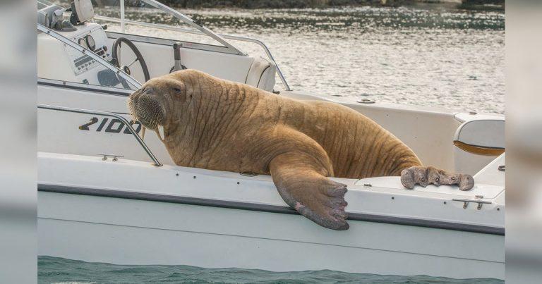 Enorme y divertida morsa decide pedir prestado el bote de un extraño