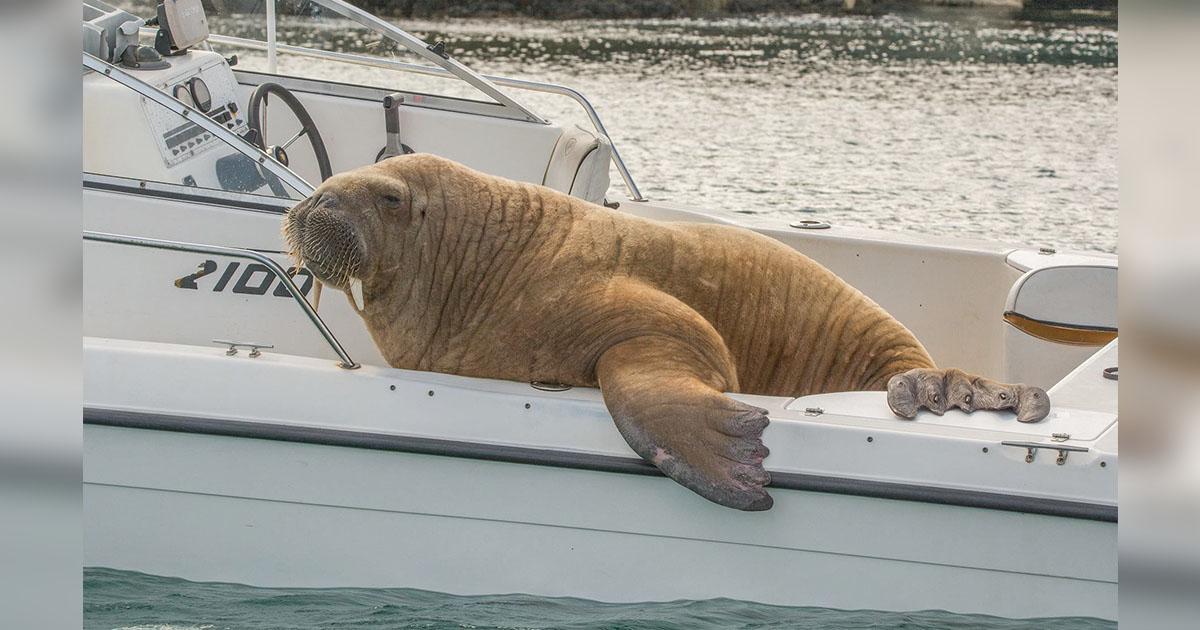 Enorme morsa pide prestado bote