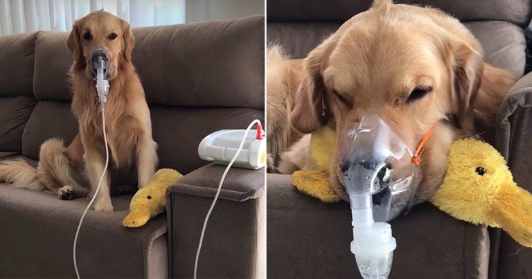 Golden retriever enfermo obedece pacientemente a mamá y usa su mascarilla respiratoria