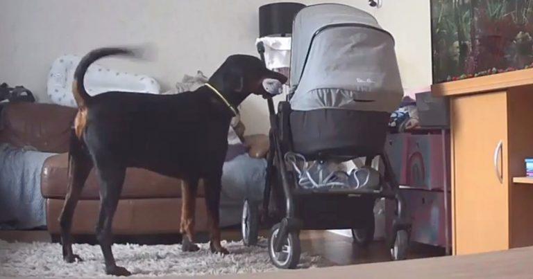 Perro consuela a su hermanita que llora llevándole su juguete favorito