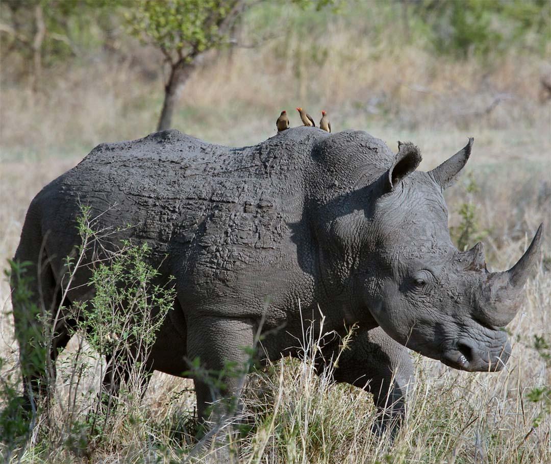 Picabueyes y rinoceronte