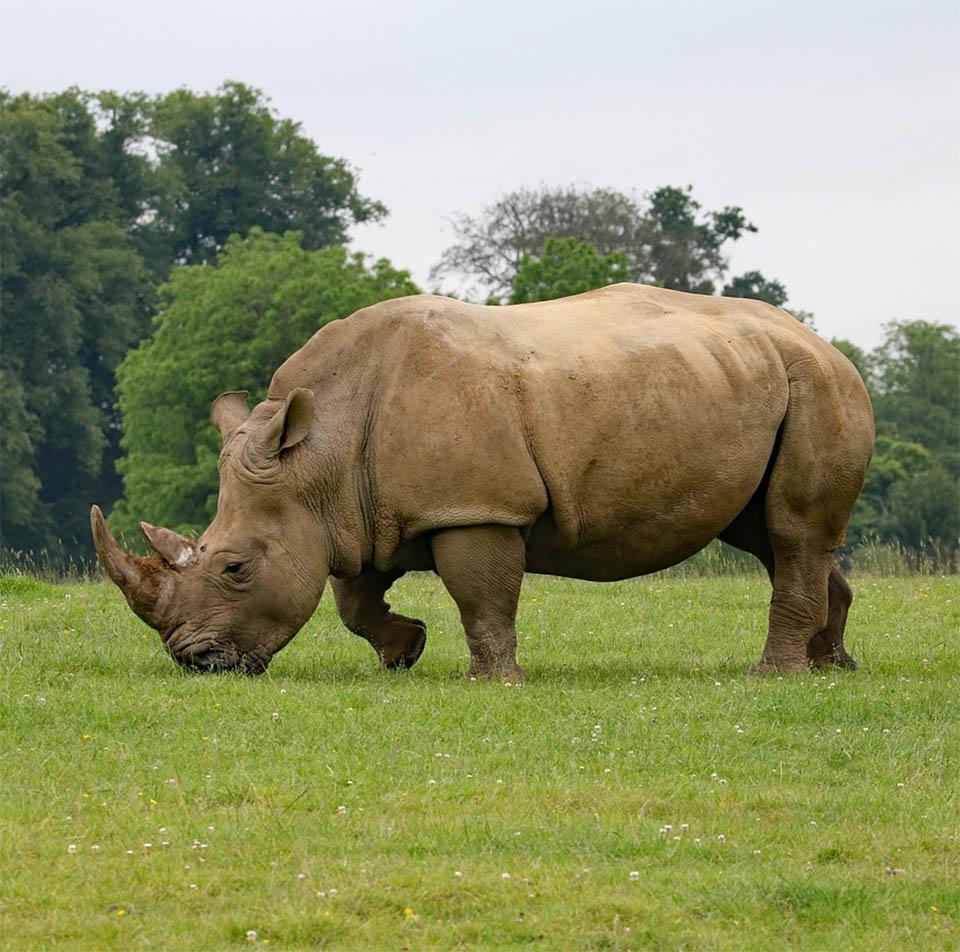 Rinoceronte solitario