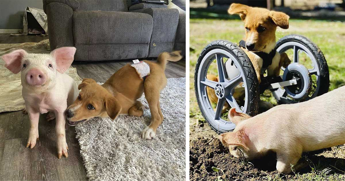 Cerdito y cachorro con necesidades especiales se convierten en mejores amigos