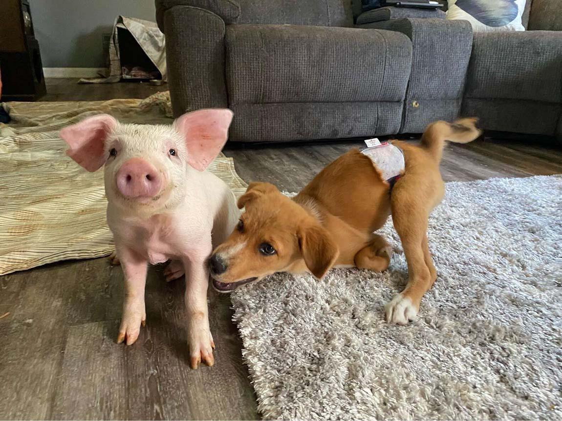 Cerdito y cachorro jugando