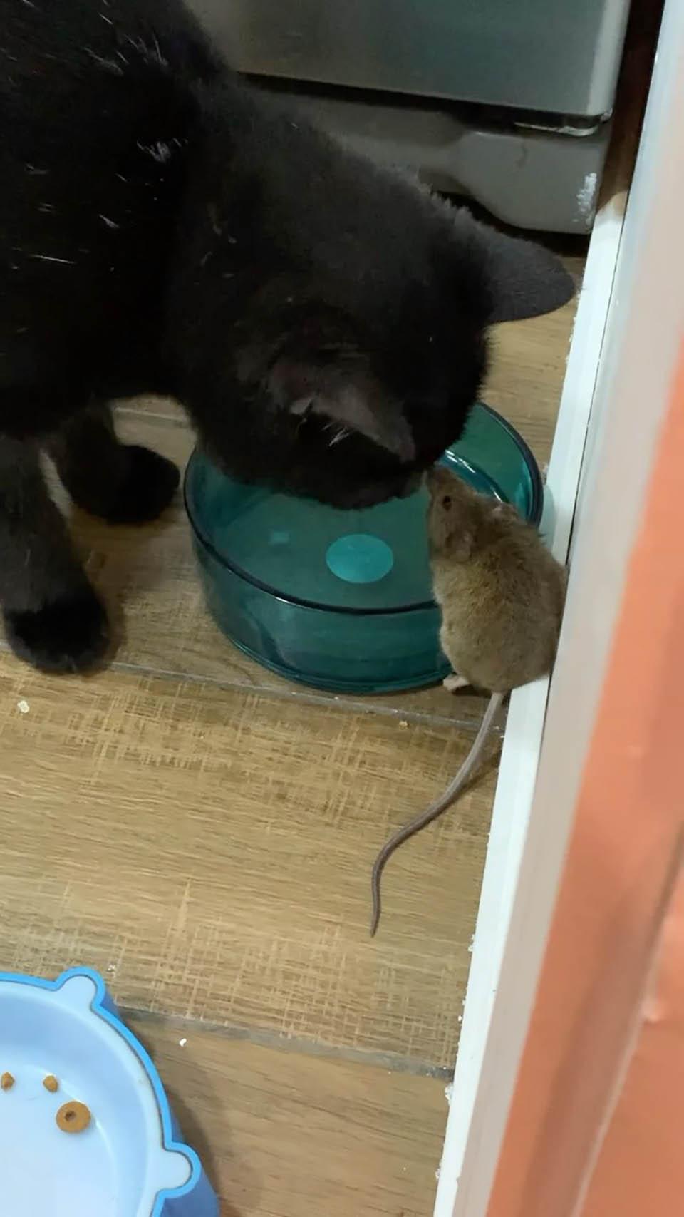 Gato haciendo amistad con ratón