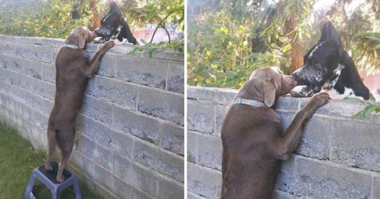 Perro amistoso obtiene un taburete para poder visitar a sus perros vecinos