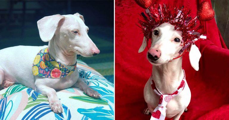 Perro salchicha albino rechazado por su apariencia inusual ahora está viviendo la buena vida